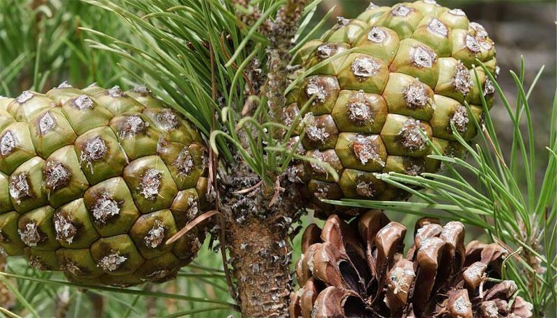 Saksıda Fıstık Çamı (Pinus Pinea) Yetiştirme