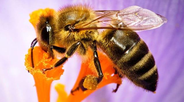 Arılar Ölürse İnsanlığın 4 Yıl Ömrü Kalır