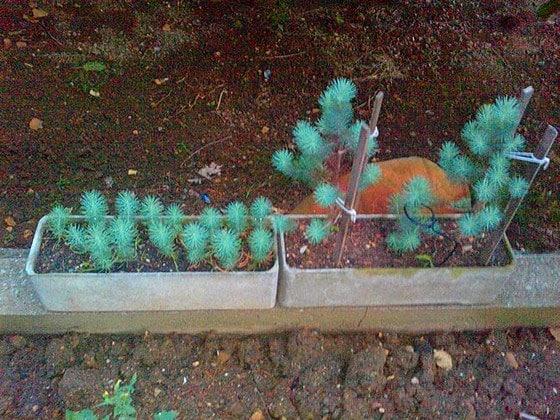 Fıstık Çamı Yetiştirme