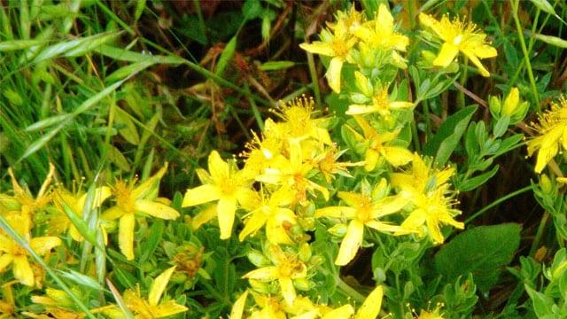Mucize Besin Sarı Kantaron Faydaları Nelerdir?